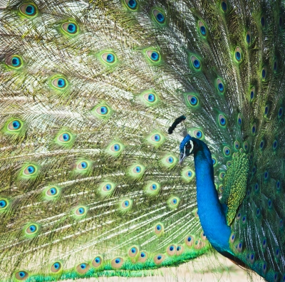 Stock Photo - Peacock - Pride